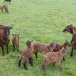 Des moutons Soay
