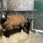 Des moutons Zwartbles